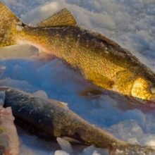 Walleye Fishing Tips