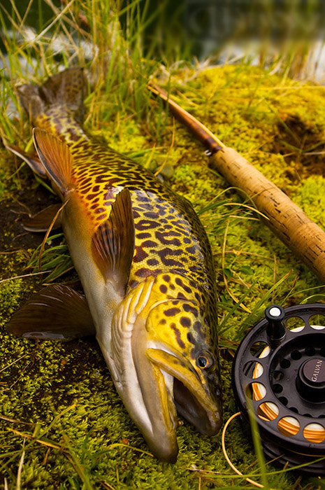 Tiger Trout Catch