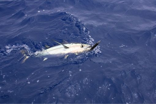 How to Fish for Albacore Tuna