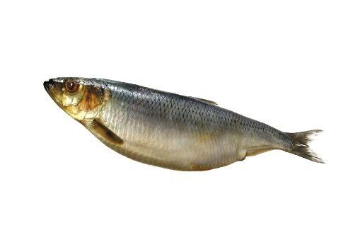 Bluefish Fishing Tips - Mackerel
