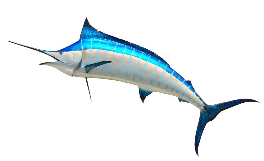 Spearfish Fishing Tips - blue marlin